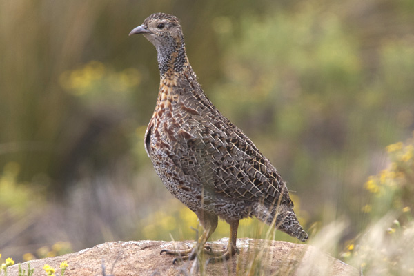 Grey Winged Francolin